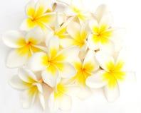 Flores brancas do Frangipani (Plumeria) Foto de Stock
