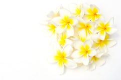 Flores brancas do Frangipani (Plumeria) Fotos de Stock Royalty Free