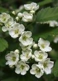 Flores brancas do hawthorn Fotografia de Stock