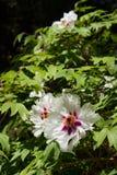Flores brancas do hibiscus Fotos de Stock