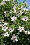 Flores brancas do hibiscus foto de stock