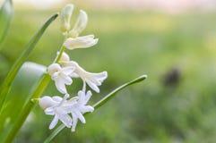 Flores brancas do Hyacinth Imagem de Stock