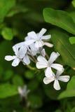 Flores brancas do ixora Fotos de Stock