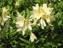 Flores brancas do jardim da azálea fotos de stock