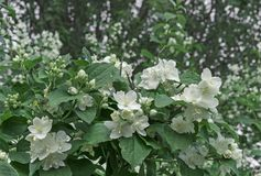 Flores brancas do jasmim Arbusto de florescência do jasmim no jardim da cidade imagem de stock