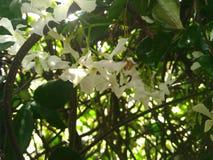 Flores brancas do jasmim com folhas verdes imagens de stock royalty free