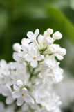 Flores brancas do lilac fotos de stock royalty free