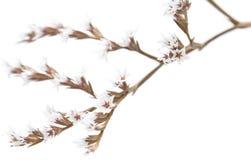 Flores brancas do limonium isoladas foto de stock