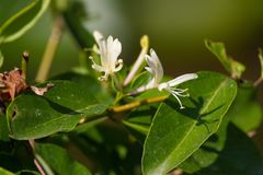 Flores brancas do Lonicera Madressilva, planta da desambiguação fotos de stock royalty free
