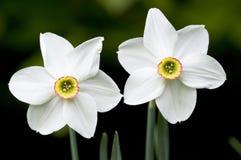 Flores brancas do narciso Imagem de Stock Royalty Free