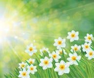 Flores brancas do narciso amarelo do vetor Foto de Stock