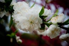 Flores brancas do pêssego em março imagem de stock royalty free