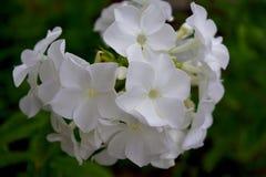 Flores brancas do phlox Fotografia de Stock Royalty Free