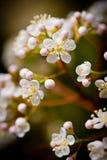 Flores brancas do pisco de peito vermelho vermelho? de Fraseri do Photinia ? Fotografia de Stock Royalty Free