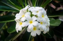 Flores brancas do Plumeria imagens de stock