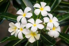 Flores brancas do Plumeria fotografia de stock