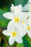Flores brancas do plumeria Imagem de Stock Royalty Free
