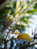 flores brancas do plumeria Fotos de Stock Royalty Free