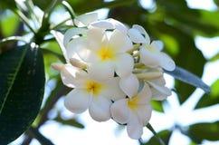 Flores brancas do Plumeria em Tailândia fotografia de stock