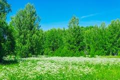 Flores brancas do prado fotos de stock