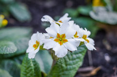 Flores brancas do primula Imagens de Stock Royalty Free
