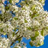 Flores brancas do quadrado que florescem nos ramos de uma árvore vista em um dia ensolarado foto de stock