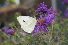 Flores brancas do roxo da borboleta Imagem de Stock Royalty Free