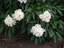 Flores brancas do suffruticosa do Paeonia foto de stock