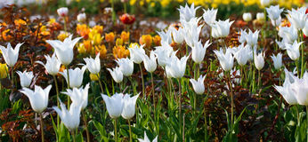 Flores brancas do tulip. Imagem de Stock