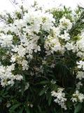 Flores brancas do verão imagem de stock royalty free