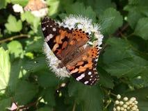 Flores brancas doces da inflorescência e da borboleta de assento nesta flor imagens de stock