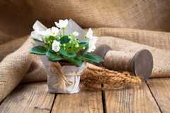 Flores brancas dos Saintpaulias no empacotamento de papel imagens de stock royalty free