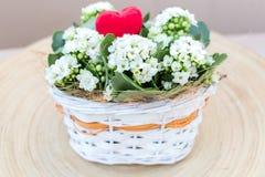Flores brancas dos Valentim do arranjo de Kalanchoe Imagem de Stock