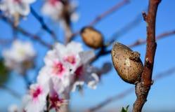 Flores brancas e amêndoa pequenas que florescem na floresta de Portugal Foto de Stock Royalty Free