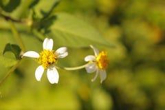 Flores brancas e amarelas Fotografia de Stock