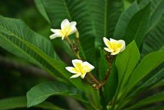 Flores brancas e amarelas Imagem de Stock Royalty Free