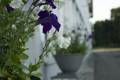 Flores brancas e azuis Fotos de Stock Royalty Free