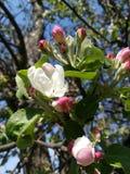 Flores brancas e botões do dia ensolarado exterior bonito de florescência da flor exterior da natureza da mola do jardim da árvor imagens de stock