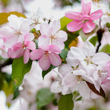 Flores brancas e cor-de-rosa Imagem de Stock Royalty Free