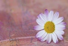 Flores brancas e cor-de-rosa da margarida imagem de stock royalty free