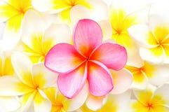 Flores brancas e cor-de-rosa do Frangipani Imagens de Stock