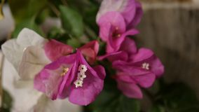 Flores brancas e cor-de-rosa pequenas bonitas Foto de Stock