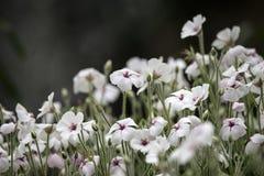 Flores brancas e cor-de-rosa pequenas bonitas na flor na mola Fotos de Stock
