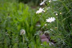 Flores brancas e dente-de-leão da metade no jardim verde fotografia de stock