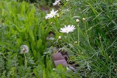 Flores brancas e dente-de-leão da metade no jardim verde imagens de stock