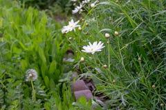 Flores brancas e dente-de-leão da metade no jardim verde foto de stock royalty free