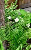 Flores brancas e Fern Fronds Imagens de Stock