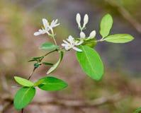 Flores brancas e folhas verdes da madressilva japonesa Imagem de Stock