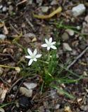 Flores brancas e folhas verdes de uma estrela da planta de Bethlehem em uma floresta Imagem de Stock Royalty Free