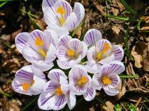Flores brancas e lilás do açafrão na primavera Fotos de Stock Royalty Free
